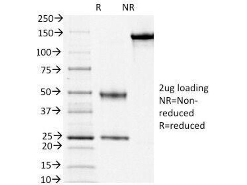 SDS-PAGE (SDS) image for anti-CD3e Molecule, epsilon (CD3-TCR Complex) (CD3E) (AA 156-168), (Cytoplasmic Domain) antibody (ABIN4949515)