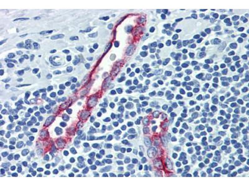 Image no. 1 for anti-Selectin P (Granule Membrane Protein 140kDa, Antigen CD62) (SELP) antibody (ABIN462342)