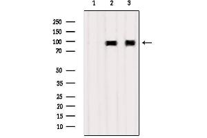 Western Blotting (WB) image for anti-Tumor Necrosis Factor, alpha-Induced Protein 3 (TNFAIP3) antibody (ABIN6265632)
