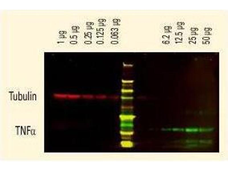 Western Blotting (WB) image for Goat anti-Rat (Rattus) IgG (Heavy & Light Chain) antibody (ABIN102136)