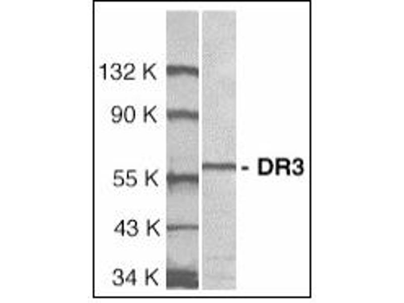 image for anti-Tumor Necrosis Factor Receptor Superfamily, Member 25 (TNFRSF25) (Extracellular Domain) antibody (ABIN372908)