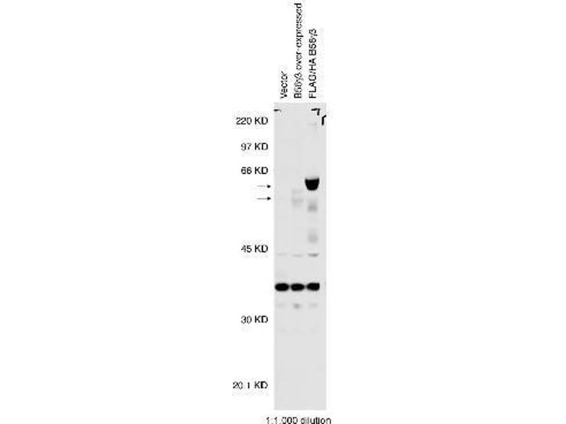 Western Blotting (WB) image for anti-Protein Phosphatase 2, Regulatory Subunit B', gamma (PPP2CA) antibody (ABIN151944)
