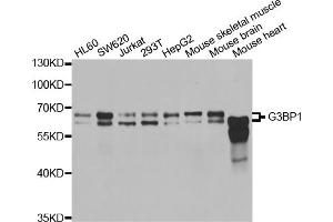 Image no. 1 for anti-GTPase Activating Protein (SH3 Domain) Binding Protein 1 (G3BP1) antibody (ABIN6569853)