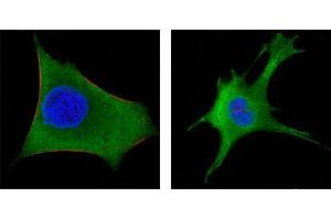 Immunofluorescence (IF) image for anti-Wingless-Type MMTV Integration Site Family, Member 1 (WNT1) antibody (ABIN2869441)