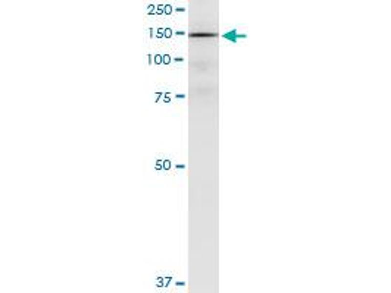 Immunoprecipitation (IP) image for anti-Platelet-Derived Growth Factor Receptor, alpha Polypeptide (PDGFRA) (AA 1-1089), (full length) antibody (ABIN948234)