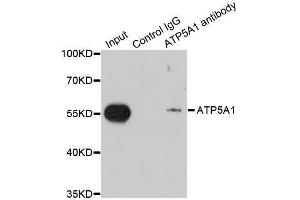 Image no. 1 for anti-ATP Synthase, H+ Transporting, Mitochondrial F1 Complex, alpha Subunit 1, Cardiac Muscle (ATP5A1) antibody (ABIN6137324)