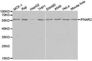 Western Blotting (WB) image for anti-IFNAR2 antibody (Interferon alpha/beta Receptor 2) (ABIN1873150)