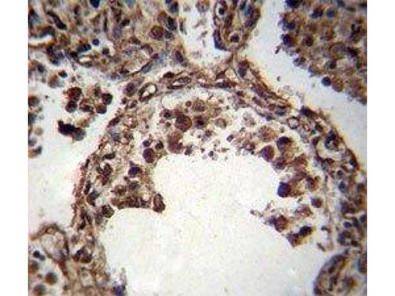 Immunohistochemistry (IHC) image for anti-TUBA1C Antikörper (Tubulin, alpha 1c) (AA 414-441) (ABIN3029334)