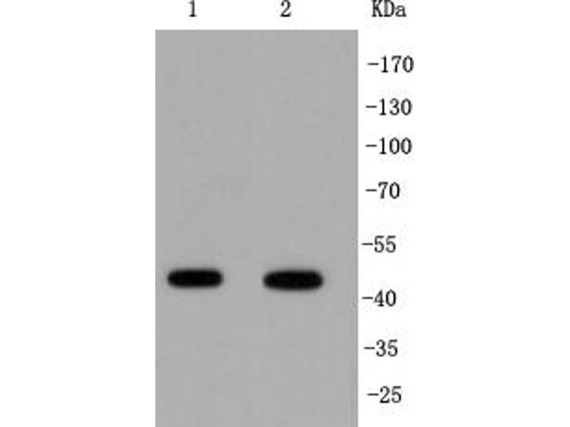 Western Blotting (WB) image for anti-Interferon Regulatory Factor 1 (IRF1) antibody (ABIN5557374)