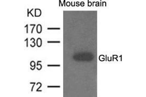 Western blot analysis of extracts from mouse brain and using GluR1.