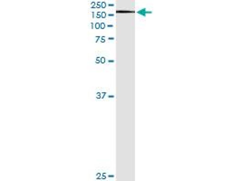 Immunoprecipitation (IP) image for anti-Exportin 5 (XPO5) (AA 1-280) antibody (ABIN566124)