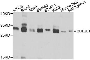 Image no. 1 for anti-BCL2-Like 1 (BCL2L1) antibody (ABIN6566501)
