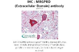Image no. 1 for anti-MAS-Related GPR, Member D (MRGPRD) (2nd Extracellular Domain) antibody (ABIN1737063)