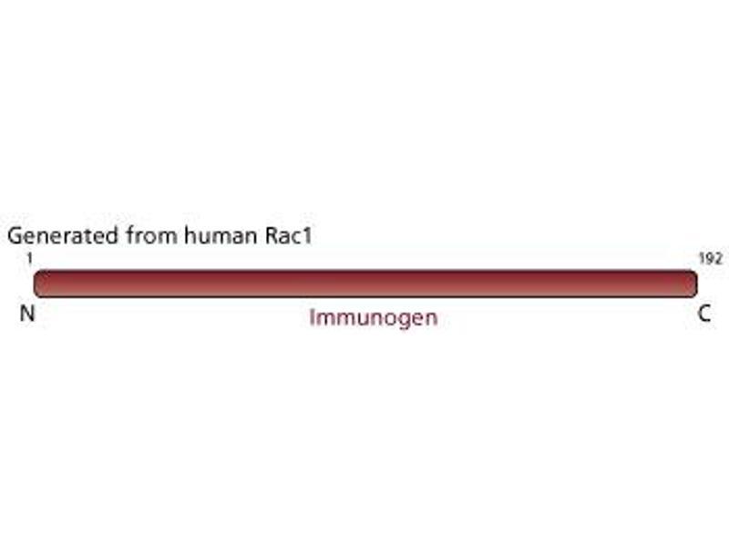 image for anti-RAC1 antibody (ABIN968089)