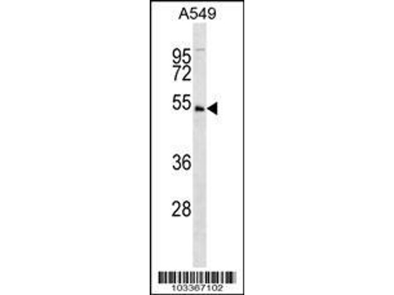 Western Blotting (WB) image for anti-U2AF Homology Motif (UHM) Kinase 1 (UHMK1) (AA 1-30), (N-Term) antibody (ABIN392641)
