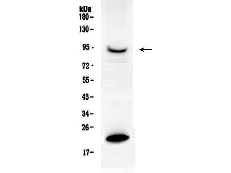 Western Blotting (WB) image for anti-Prolactin Receptor (PRLR) (AA 591-605), (C-Term) antibody (ABIN3043973)