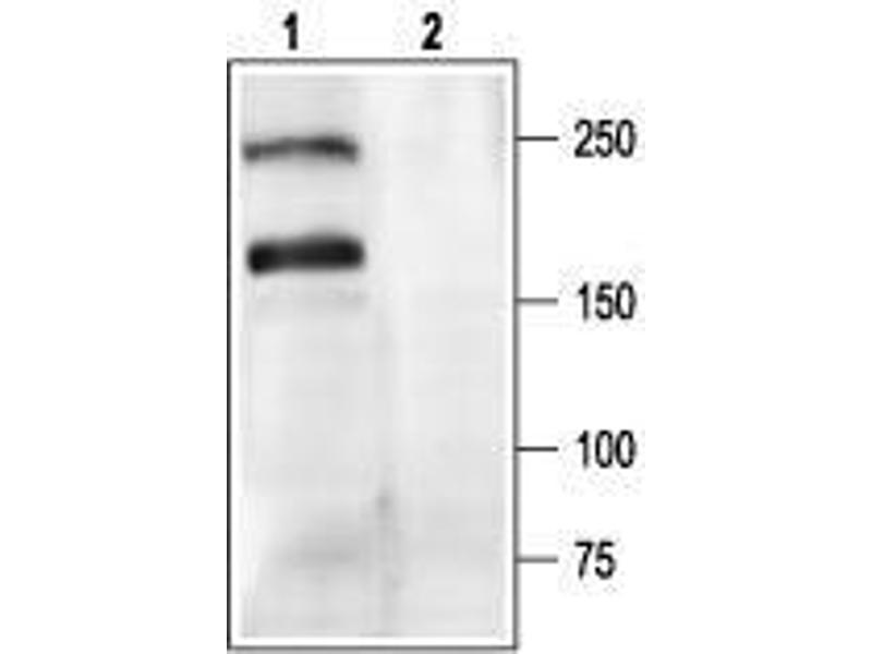 Western Blotting (WB) image for anti-Calcium Channel, Voltage-Dependent, P/Q Type, alpha 1A Subunit (CACNA1A) (AA 865-881), (Intracellular) antibody (ABIN1742170)