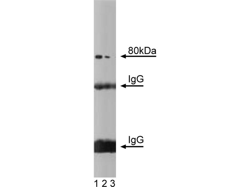 Western Blotting (WB) image for anti-SLC3A2 antibody (Solute Carrier Family 3 (Activators of Dibasic and Neutral Amino Acid Transport), Member 2) (AA 9-204) (ABIN968570)