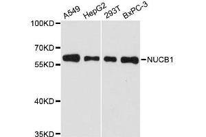 Image no. 1 for anti-Nucleobindin 1 (NUCB1) antibody (ABIN1681132)