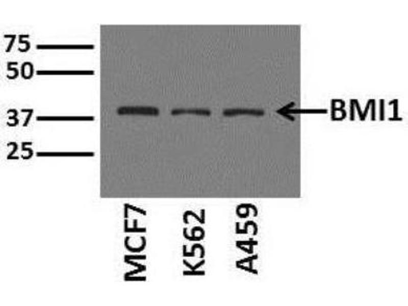 Western Blotting (WB) image for anti-BMI1 Polycomb Ring Finger Oncogene (BMI1) antibody (ABIN4284857)