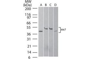 Image no. 1 for anti-5-Hydroxytryptamine (serotonin) Receptor 7 (Adenylate Cyclase-Coupled) (HTR7) antibody (ABIN537341)