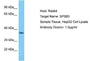 Image no. 1 for anti-SplA/ryanodine Receptor Domain and SOCS Box Containing 3 (SPSB3) (C-Term) antibody (ABIN2774580)
