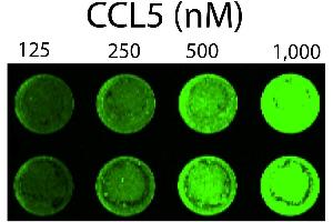 Image no. 2 for Chemokine (C-C Motif) Ligand 5 (CCL5) (AA 24-91) (Active) protein (Biotin) (ABIN6952202)