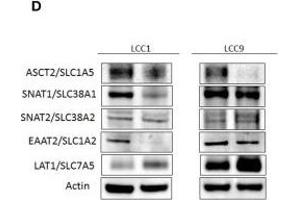 Image no. 1 for anti-Solute Carrier Family 38, Member 2 (SLC38A2) (AA 21-150) antibody (ABIN1386694)