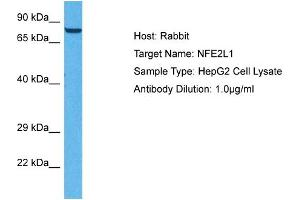Image no. 1 for anti-Nuclear Factor (erythroid-Derived 2)-Like 1 (NFE2L1) (C-Term) antibody (ABIN2777211)