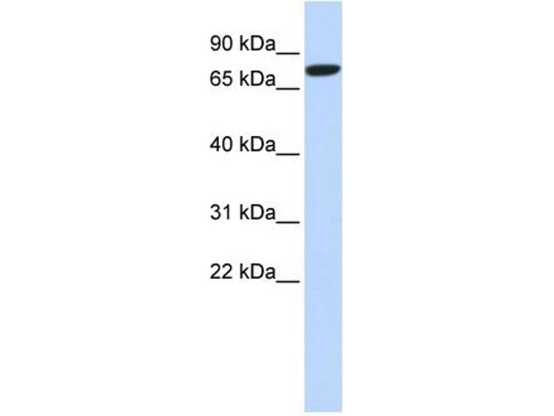 Western Blotting (WB) image for anti-DLL1 antibody (delta-Like 1) (N-Term) (ABIN405837)