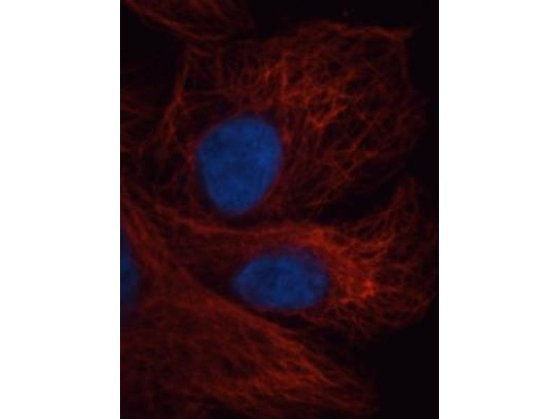 Immunofluorescence (IF) image for anti-alpha Tubulin (TUBA1) antibody (ABIN152113)