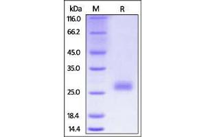 Image no. 1 for Cytotoxic T-Lymphocyte-Associated Protein 4 (CTLA4) (AA 36-162) (Active) protein (His tag) (ABIN2870729)