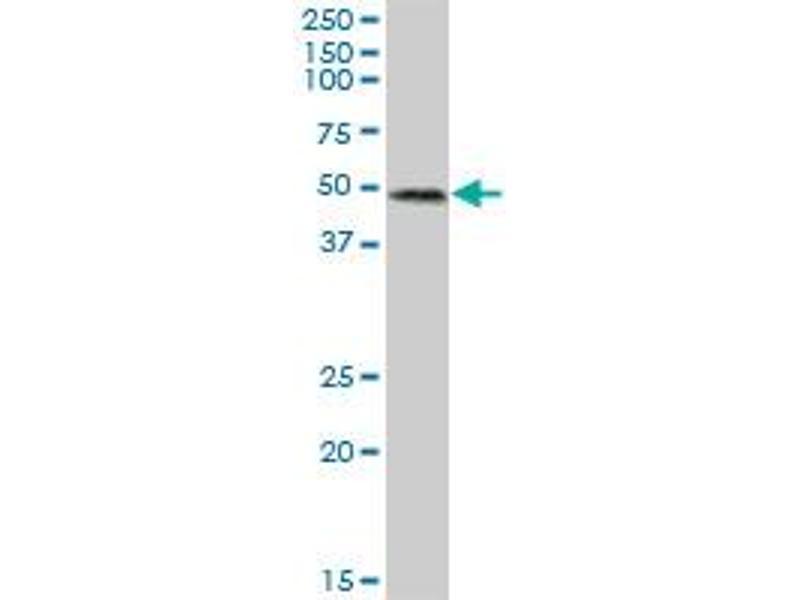 Western Blotting (WB) image for anti-RUN and FYVE Domain Containing 3 (RUFY3) (AA 1-469), (full length) antibody (ABIN524843)