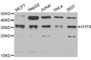 Image no. 1 for anti-H1 Histone Family, Member 0 (H1F0) antibody (ABIN2562981)