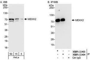 Western Blotting (WB) image for anti-MAP3K2 antibody (Mitogen-Activated Protein Kinase Kinase Kinase 2) (AA 1-50) (ABIN439363)