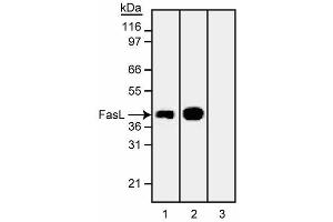 Western Blotting (WB) image for anti-FASL antibody (Fas Ligand (TNF Superfamily, Member 6)) (ABIN967520)