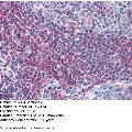 anti-Goosecoid Homeobox (GSC) (N-Term) antibody