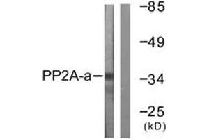 Western Blotting (WB) image for anti-Protein Phosphatase 2, Catalytic Subunit, alpha Isozyme (PPP2CA) (AA 260-309) antibody (ABIN1532396)