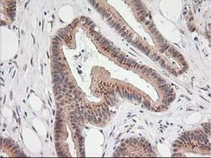 image for anti-Monoglyceride Lipase (MGLL) antibody (ABIN1499437)