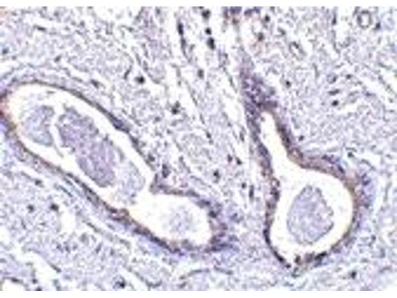 Immunohistochemistry (IHC) image for anti-Family with Sequence Similarity 175, Member A (FAM175A) (N-Term) antibody (ABIN1031306)