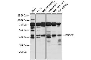 Image no. 1 for anti-Platelet-Derived Growth Factor C (PDGFC) antibody (ABIN6292249)