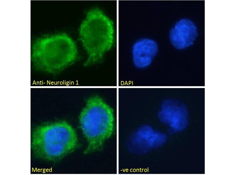 Immunofluorescence (IF) image for anti-Neuroligin 1 (NLGN1) (Internal Region) antibody (ABIN185446)