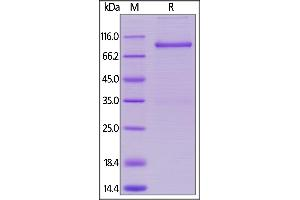 Image no. 1 for Lymphocyte-Activation Gene 3 (LAG3) (AA 18-449) (Active) protein (Fc Tag) (ABIN5674617)