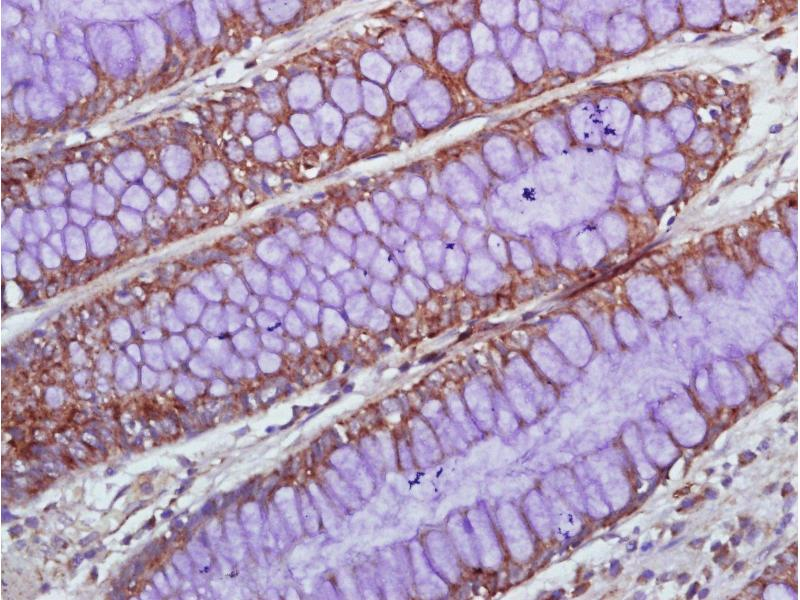 Immunohistochemistry (Paraffin-embedded Sections) (IHC (p)) image for anti-IL1A antibody (Interleukin 1 alpha) (AA 150-200) (ABIN1385287)