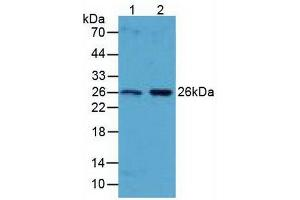 Image no. 3 for anti-BCL2-Like 1 (BCL2L1) (AA 2-212) antibody (ABIN1077849)