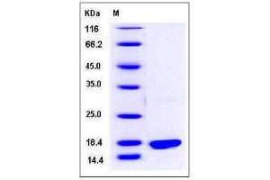 Image no. 1 for BCL2-Like 2 (BCL2L2) (AA 1-172) protein (His tag) (ABIN2215189)