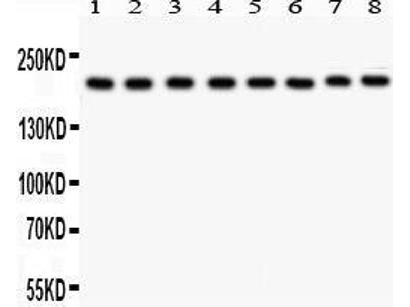 Western Blotting (WB) image for anti-TJP1 Antikörper (Tight Junction Protein 1 (Zona Occludens 1)) (AA 1178-1527) (ABIN3043312)