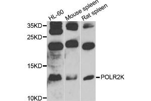 Image no. 1 for anti-Polymerase (RNA) II (DNA Directed) Polypeptide K, 7.0kDa (POLR2K) antibody (ABIN4904814)