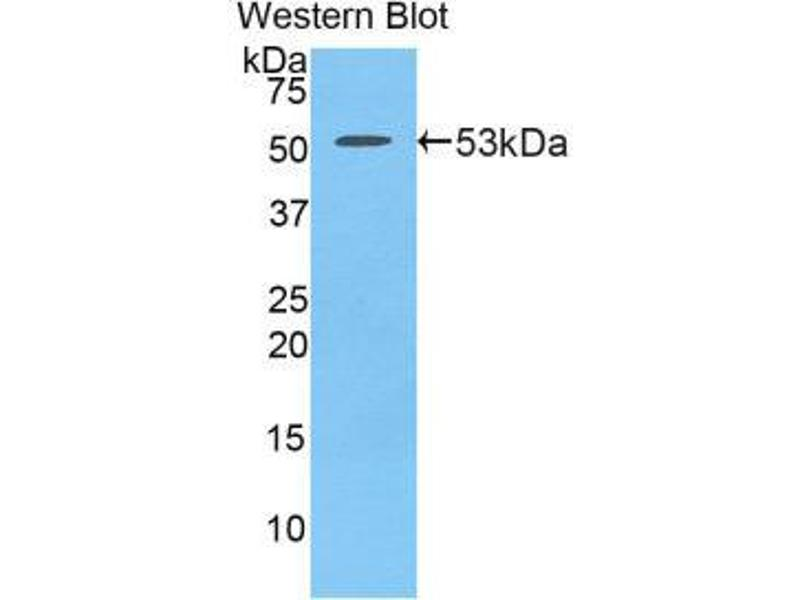 Western Blotting (WB) image for anti-Platelet Derived Growth Factor BB (PDGFBB) (AA 21-241) antibody (ABIN1860157)