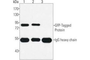 Western Blotting (WB) image for anti-GFP antibody (Green Fluorescent Protein) (ABIN1107350)